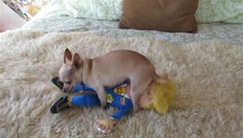 This Chihuahua Shows Trump How It Feels About Him - Video