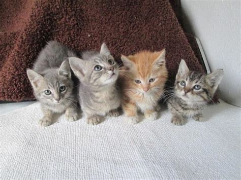 Large Pixie-bob-tail, Mainecoon kittens! for Sale in