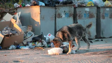 Homeless Hungry Dog Looking For Food In Trash Bins