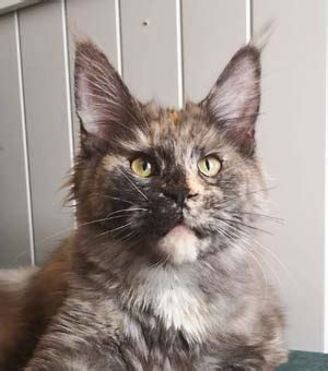 Maine Coon Hunnkatter - Spellbounds Maine Coon