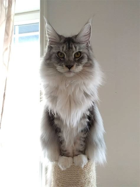 28 Tiny Maine Coon Kittens That Are Actually Giants In The