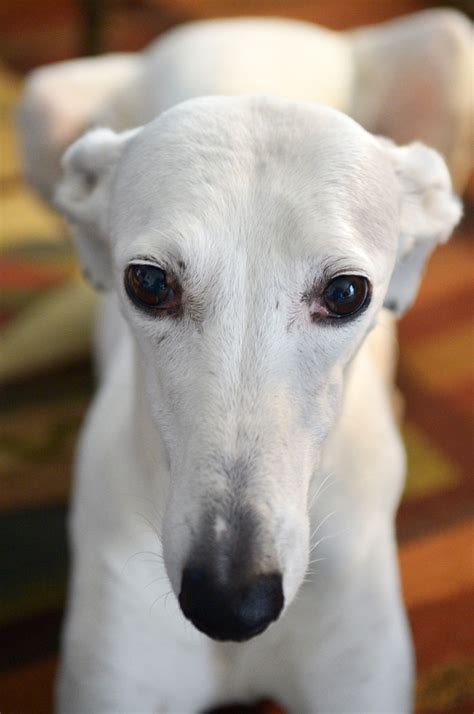 Dillsburg woman works to rescue Spanish greyhounds