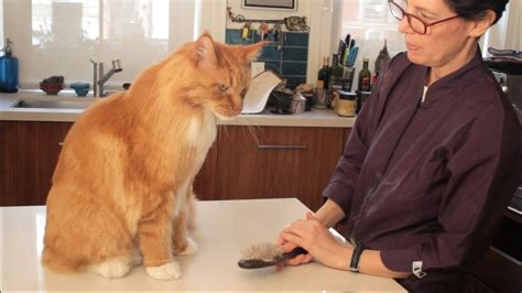 Maine Coon Cat Grooming with The Pet Maven - YouTube