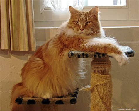 7 Things Only Maine Coon Cat Owners Understand