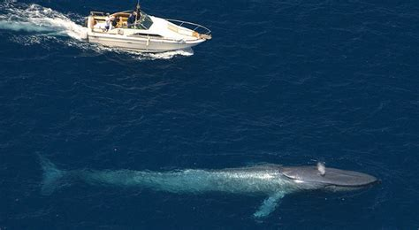 Blue Whales Make a Comeback in California Waters