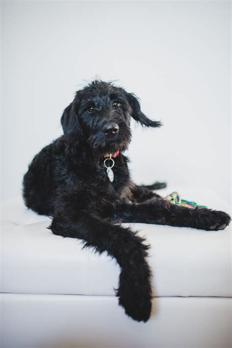 disney, the one year old black labradoodle - AlleyCat