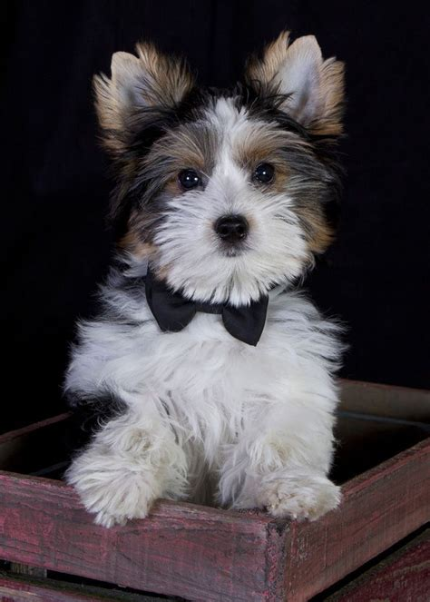 biewer terrier- it is like a bigger yorkie with white