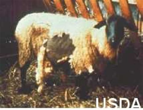 Scrapie In Sheep   Manitoba Agriculture   Province of Manitoba