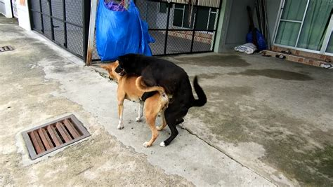 Dog Mating Clips,mating Dog Footage Stock Footage Video