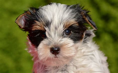 Biewer Yorkie Puppies Breed information & Puppies for Sale